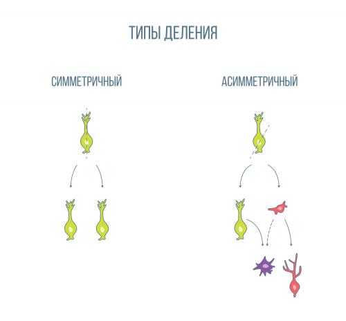 стволовые клетки мозга