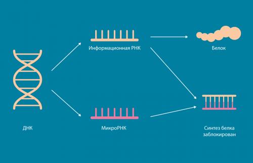 атлас микроРНК