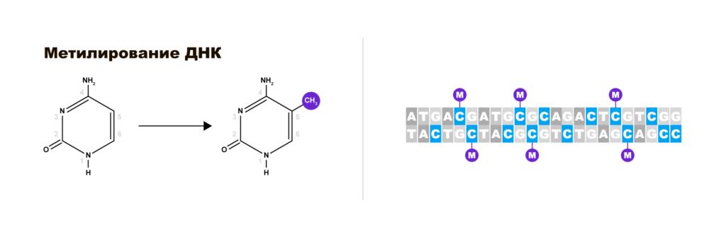 CpG-светофоры в ДНК