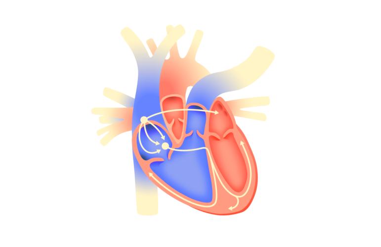 электрическая активность сердца
