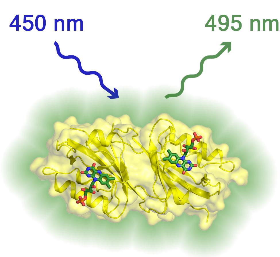 флуоресцентный белок